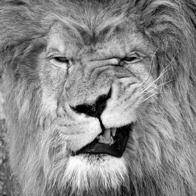 Nikita Lion